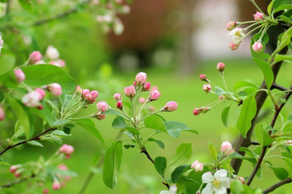 bloemknoppen